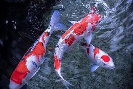 Nguồn gốc và ý nghĩa của cá koi