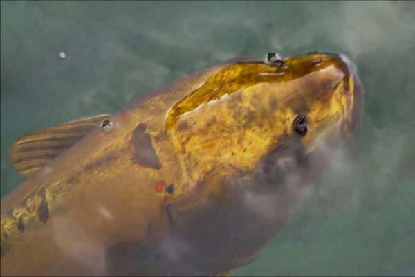 cá chép koi triệu đô đắt nhất thế giới