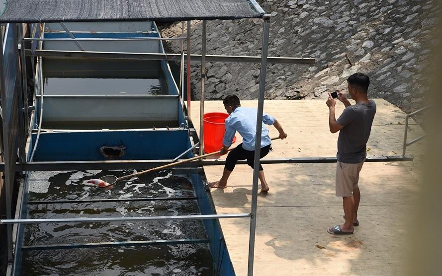 Chuyên gia thủy sản vào cuộc khi cá koi nhật chế