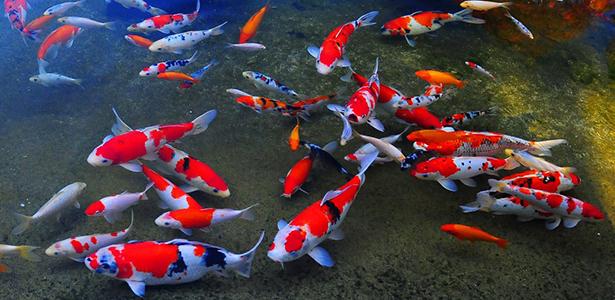 Ý nghĩa của cá Koi