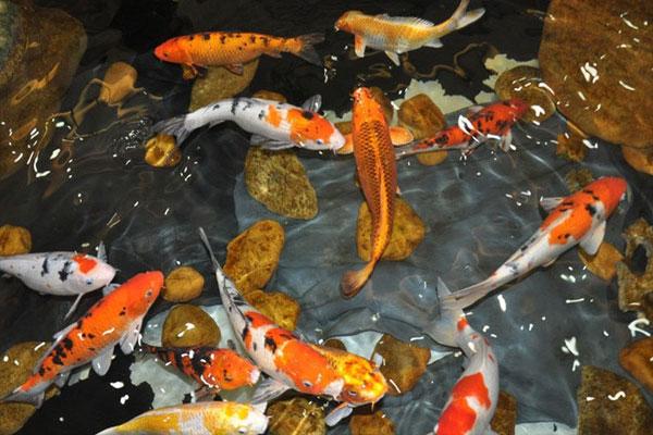 Hồ cá koi bạc tỷ