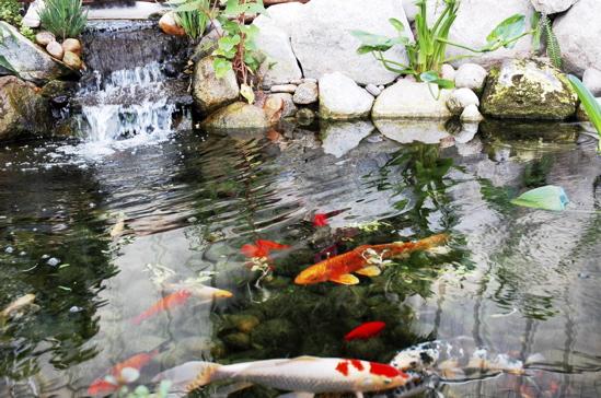 Lý do nên thi công hồ cá Koi